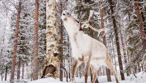 Image du film Aïlo : une odyssée en Laponie